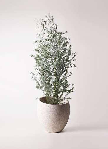観葉植物 ユーカリ 10号 グニー エコストーンLight Gray 付き