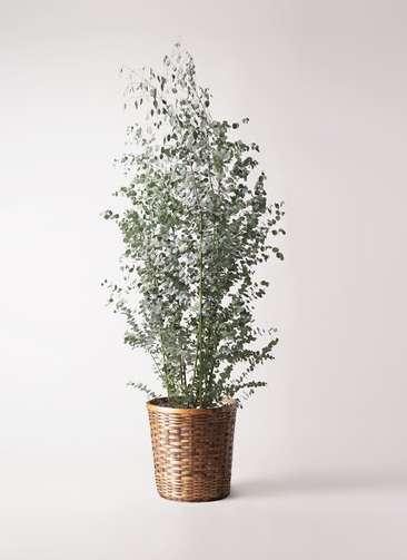 観葉植物 ユーカリ 10号 グニー 竹バスケット 付き