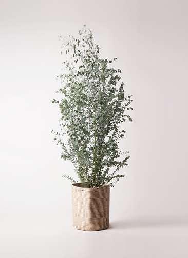 観葉植物 ユーカリ 10号 グニー リブバスケットNatural 付き