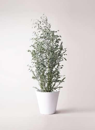 観葉植物 ユーカリ 10号 グニー フォリオソリッド 白 付き
