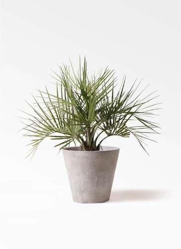 観葉植物 ココスヤシ (ヤタイヤシ) 10号 アートストーン ラウンド グレー 付き