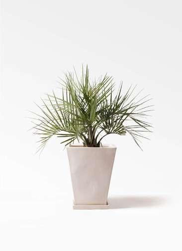 観葉植物 ココスヤシ (ヤタイヤシ) 10号 スクエアハット 白 付き