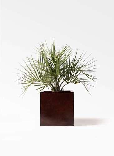 観葉植物 ココスヤシ (ヤタイヤシ) 10号 MOKU キューブ 付き