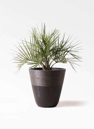 観葉植物 ココスヤシ (ヤタイヤシ) 10号 ジュピター 黒 付き
