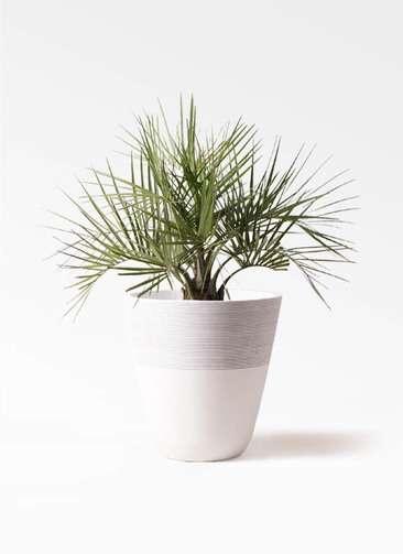 観葉植物 ココスヤシ (ヤタイヤシ) 10号 ジュピター 白 付き