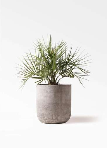 観葉植物 ココスヤシ (ヤタイヤシ) 10号 エルバ 白 付き