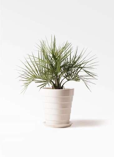観葉植物 ココスヤシ (ヤタイヤシ) 10号 サバトリア 白 付き