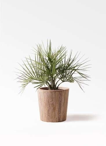 観葉植物 ココスヤシ (ヤタイヤシ) 10号 ウッドプランター 付き