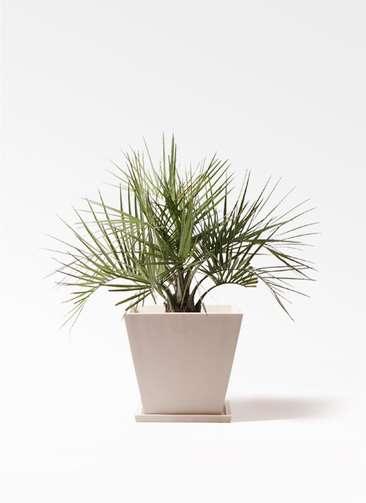 観葉植物 ココスヤシ (ヤタイヤシ) 10号 パウダーストーン 白 付き