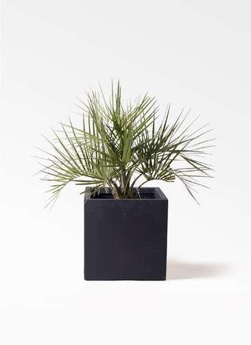 観葉植物 ココスヤシ (ヤタイヤシ) 10号 ベータ キューブプランター 黒 付き