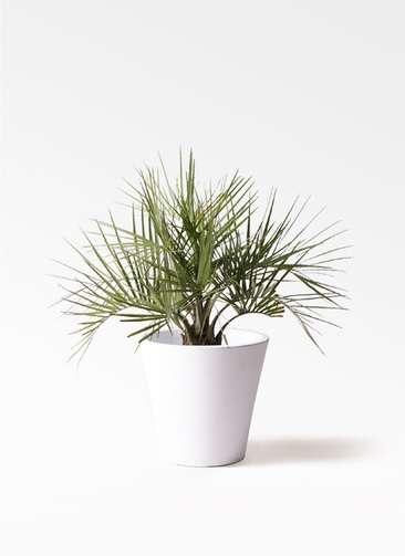 観葉植物 ココスヤシ (ヤタイヤシ) 10号 フォリオソリッド 白 付き