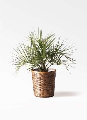 観葉植物 ココスヤシ (ヤタイヤシ) 10号 竹バスケット 付き