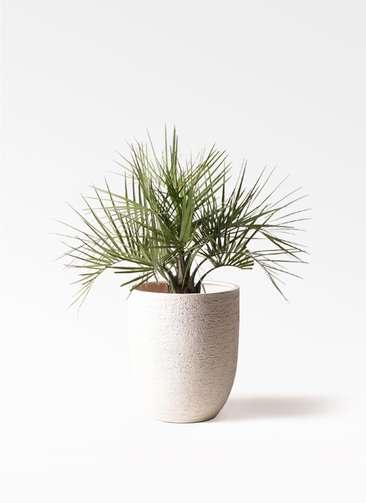 観葉植物 ココスヤシ (ヤタイヤシ) 10号 ビアスアルトエッグ 白 付き