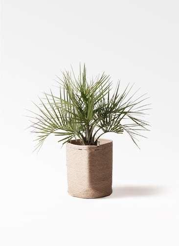 観葉植物 ココスヤシ (ヤタイヤシ) 10号 リブバスケットNatural 付き