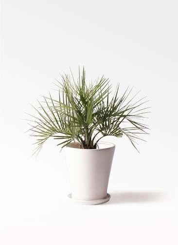 観葉植物 ココスヤシ (ヤタイヤシ) 10号 サブリナ 白 付き