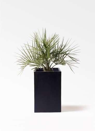 観葉植物 ココスヤシ (ヤタイヤシ) 10号 セドナロング 墨 付き