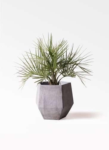 観葉植物 ココスヤシ (ヤタイヤシ) 10号 ファイバークレイGray 付き
