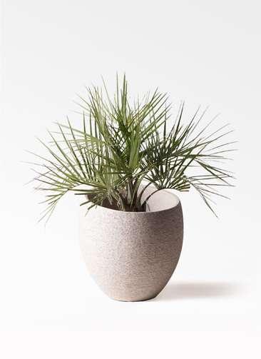 観葉植物 ココスヤシ (ヤタイヤシ) 10号 エコストーンLight Gray 付き