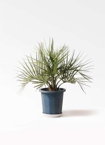観葉植物 ココスヤシ (ヤタイヤシ) 10号 プラスチック鉢