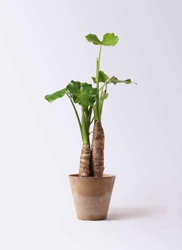 観葉植物 クワズイモ 8号 アートストーン ラウンド ベージュ 付き