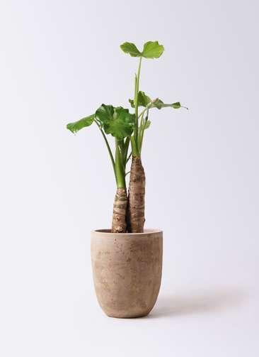 観葉植物 クワズイモ 8号 ルーガ アンティコ アルトエッグ 付き