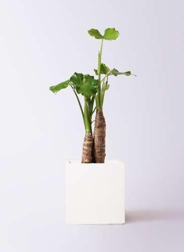 観葉植物 クワズイモ 8号 バスク キューブ 付き
