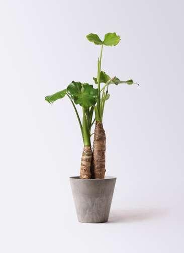観葉植物 クワズイモ 8号 アートストーン ラウンド グレー 付き