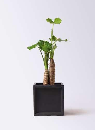 観葉植物 クワズイモ 8号 ブリティッシュキューブ 付き