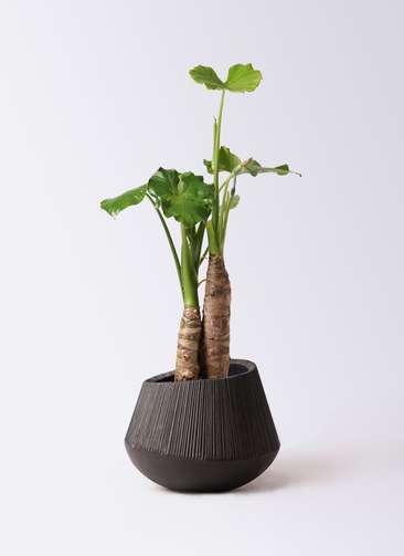観葉植物 クワズイモ 8号 エディラウンド 黒 付き