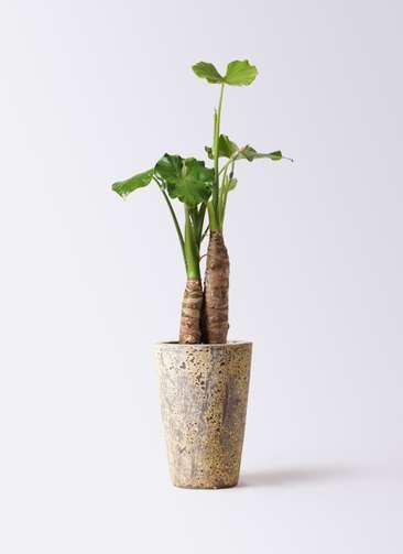観葉植物 クワズイモ 8号 アトランティス クルーシブル 付き