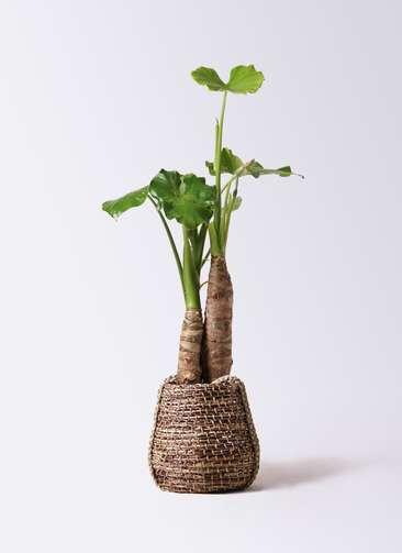 観葉植物 クワズイモ 8号 リゲル 茶 付き