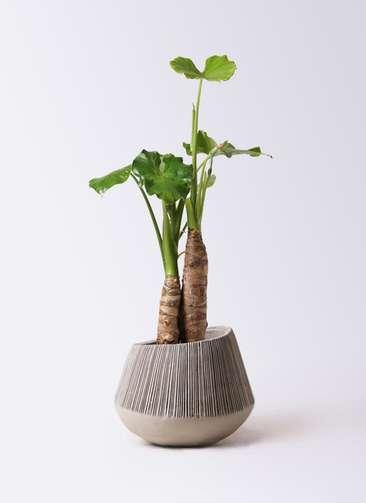 観葉植物 クワズイモ 8号 エディラウンド グレイ 付き