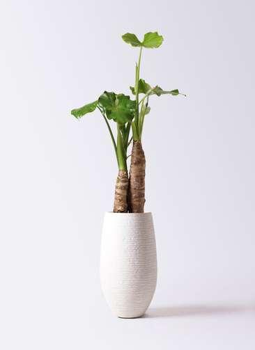 観葉植物 クワズイモ 8号 フォンティーヌトール 白 付き