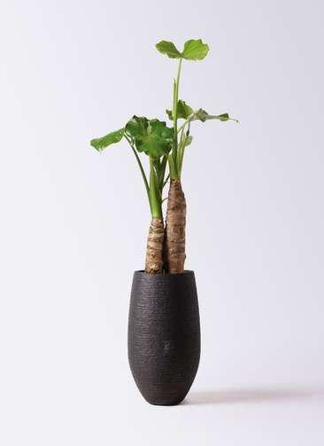 観葉植物 クワズイモ 8号 フォンティーヌトール 黒 付き