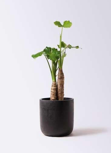 観葉植物 クワズイモ 8号 エルバ 黒 付き