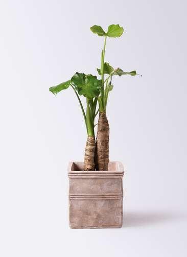 観葉植物 クワズイモ 8号 テラアストラ カペラキュビ 赤茶色 付き