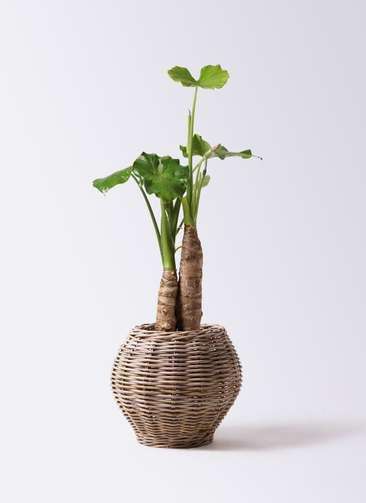 観葉植物 クワズイモ 8号 グレイラタン 付き