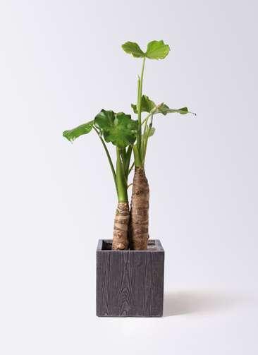 観葉植物 クワズイモ 8号 ベータ キューブプランター ウッド 茶 付き