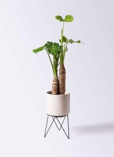 観葉植物 クワズイモ 8号 ビトロ エンデカ 鉢カバースタンド付 クリーム 付き