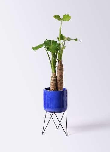 観葉植物 クワズイモ 8号 ビトロ エンデカ 鉢カバースタンド付 ブルー 付き