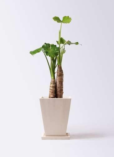 観葉植物 クワズイモ 8号 パウダーストーン 白 付き