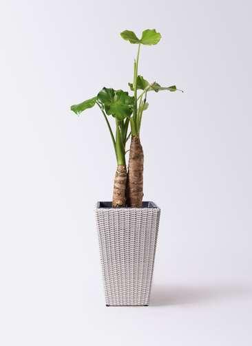 観葉植物 クワズイモ 8号 ウィッカーポット スクエアロング OT 白 付き