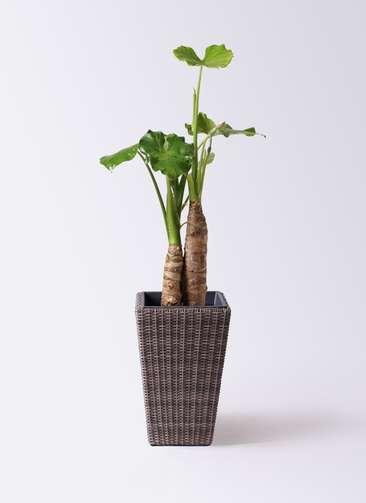 観葉植物 クワズイモ 8号 ウィッカーポット スクエアロング OT 茶 付き