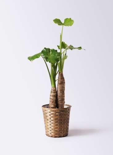 観葉植物 クワズイモ 8号 竹バスケット 付き