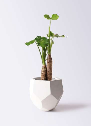 観葉植物 クワズイモ 8号 ポリゴヘクサ 白 付き