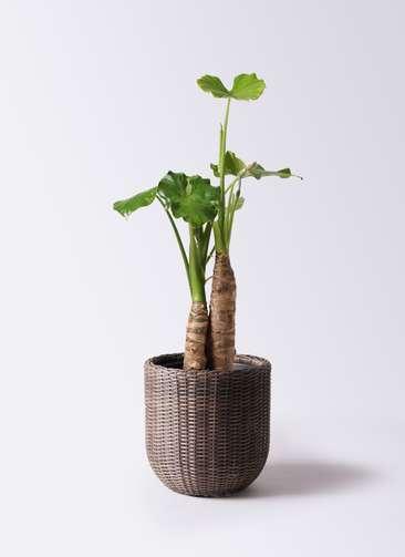 観葉植物 クワズイモ 8号 ウィッカーポットエッグ 茶 付き