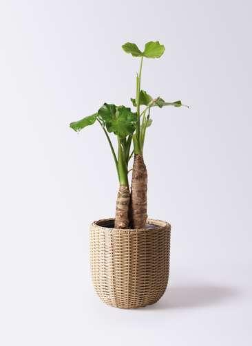 観葉植物 クワズイモ 8号 ウィッカーポットエッグ ベージュ 付き