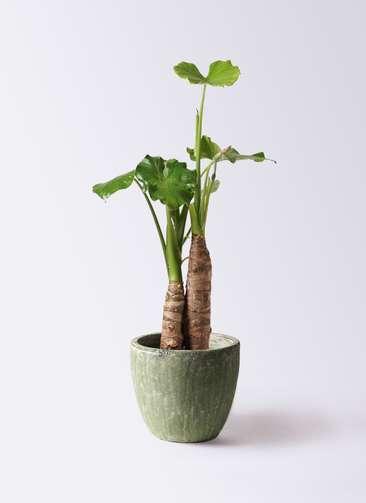 観葉植物 クワズイモ 8号 アビスソニアミドル 緑 付き