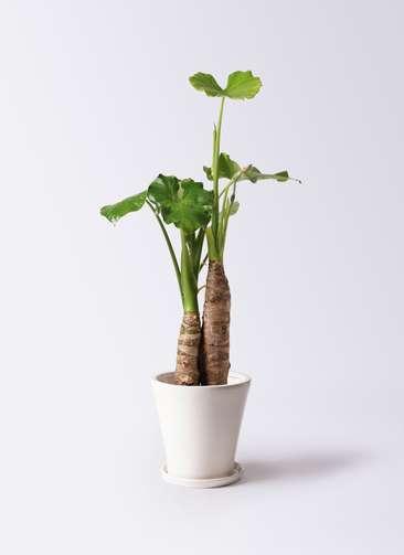 観葉植物 クワズイモ 8号 サブリナ 白 付き