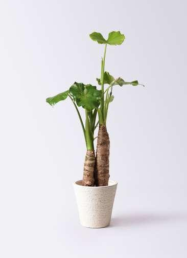 観葉植物 クワズイモ 8号 ビアスソリッド 白 付き